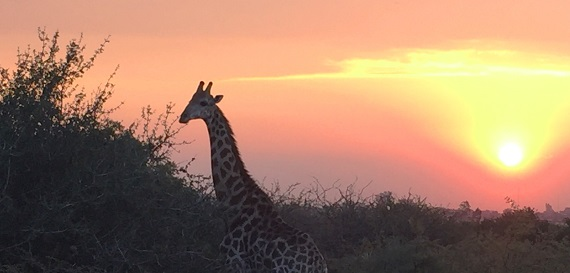 Giraffe in front of sunset.