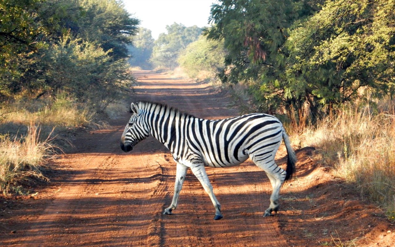 A zebra seen by the group in South Africa.