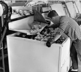 Worker filling bins with citrus